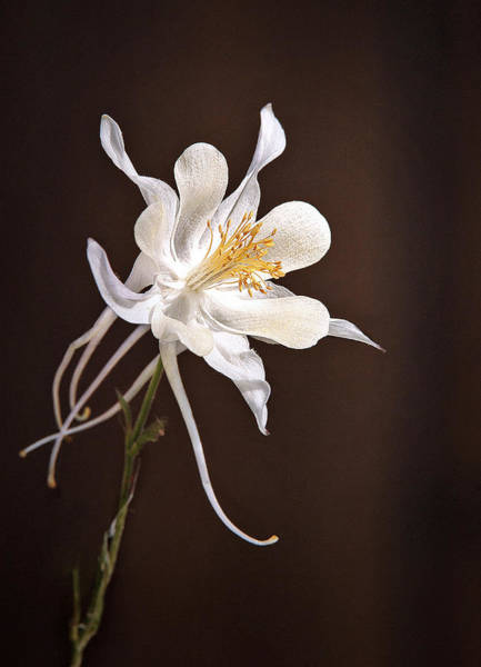 Bacopa Photograph - White Columbine by James Steele