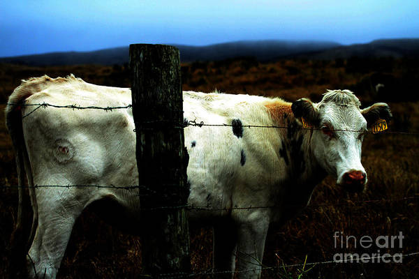 Photograph - White Cow 27579 by Wingsdomain Art and Photography