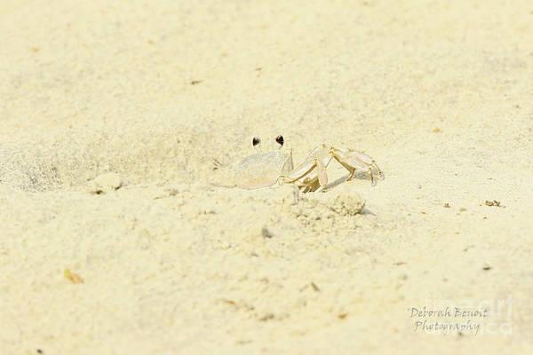 Photograph - White Crab by Deborah Benoit
