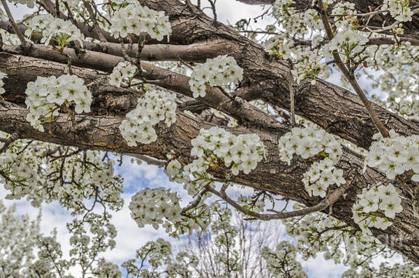 Photograph - White Crabapple Blossoms by Sue Smith