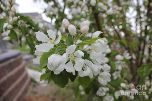 Photograph - White Crabapple Floral by Donna L Munro