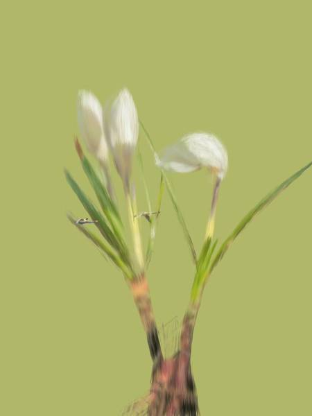 Photograph - White Crocus And Swans. by Leif Sohlman