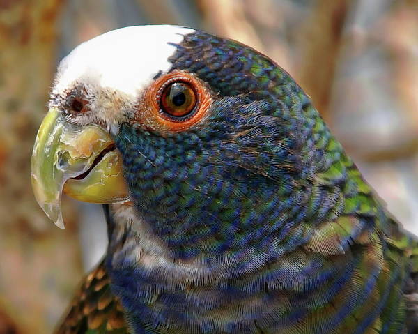 Photograph - White-crowned Parrot by Anthony Dezenzio