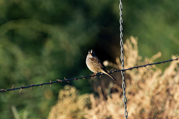 Photograph - White-crowned Sparrow by Douglas Killourie