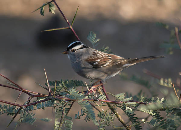 Photograph - White Crowned Sparrow by Teresa Wilson