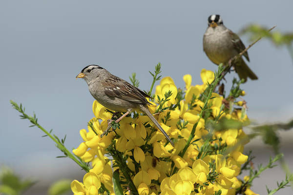 Photograph - White-crowned Sparrows On Scotch Broom by Robert Potts