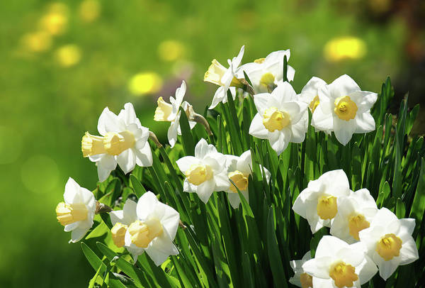 Wall Art - Photograph - White Daffodils  by Art Spectrum