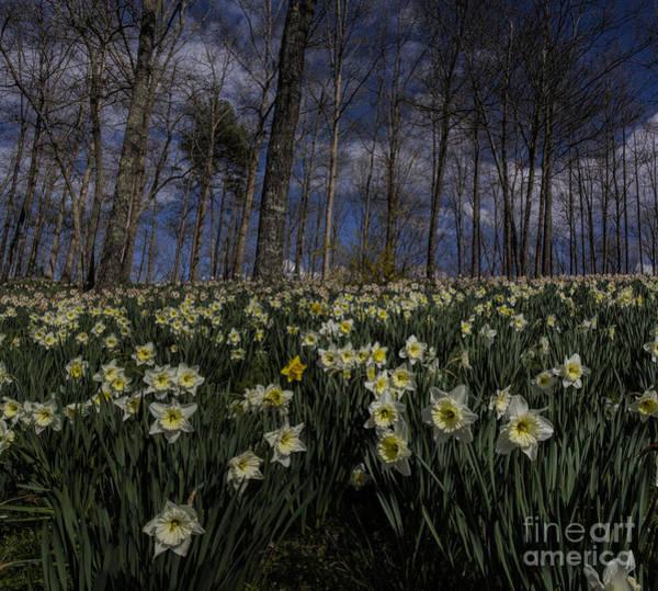 Photograph - White Daffodils Pano by Barbara Bowen