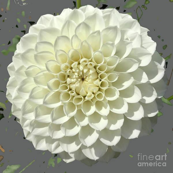 Photograph - White Dahlia by Robin Maria Pedrero
