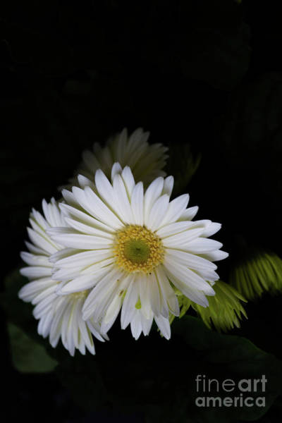 Photograph - White Daisies by William Norton