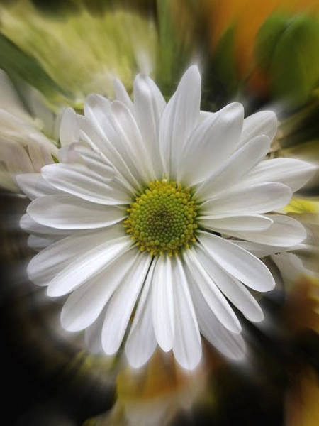 Grosse Pointe Farms Photograph - White Daisy For You  by Ellen Stanton