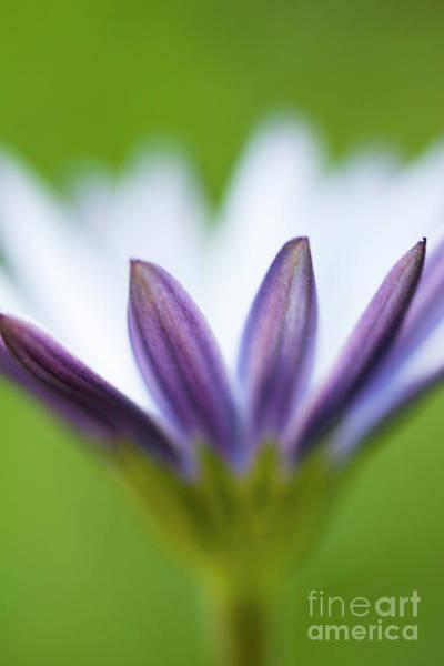 Osteospermum Hybrid Photograph - white Daisy Osteospermum 1 by Yosi Apteker