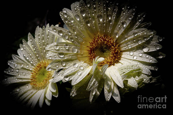 Photograph - White Daisy by William Norton