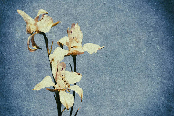Photograph - White Delphinium Of Forgetfulness by John Williams