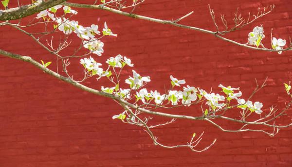 Photograph - White Dogwood Brick Wall by Tom Singleton