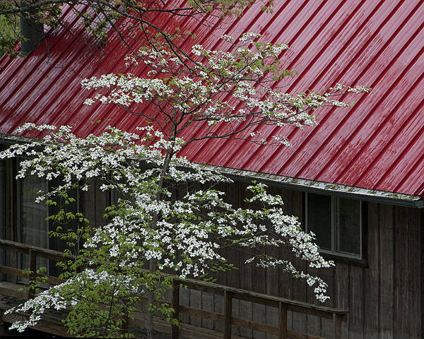 The Harbinger Photograph - White Dogwood In The Rain by Mitch Spence
