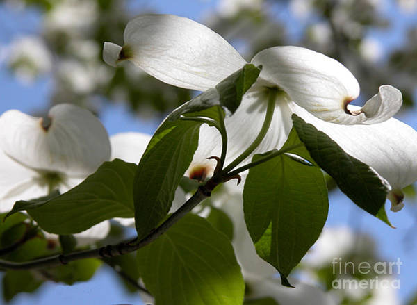 Photograph - White Dogwood by Kathleen Gauthier