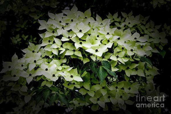 Photograph - White Dogwood by William Norton
