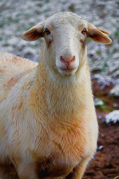 Photograph - White Dorper Sheep  by Carol Montoya
