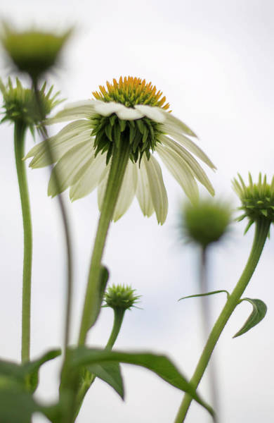 Photograph - White Echinacea by Heather Applegate