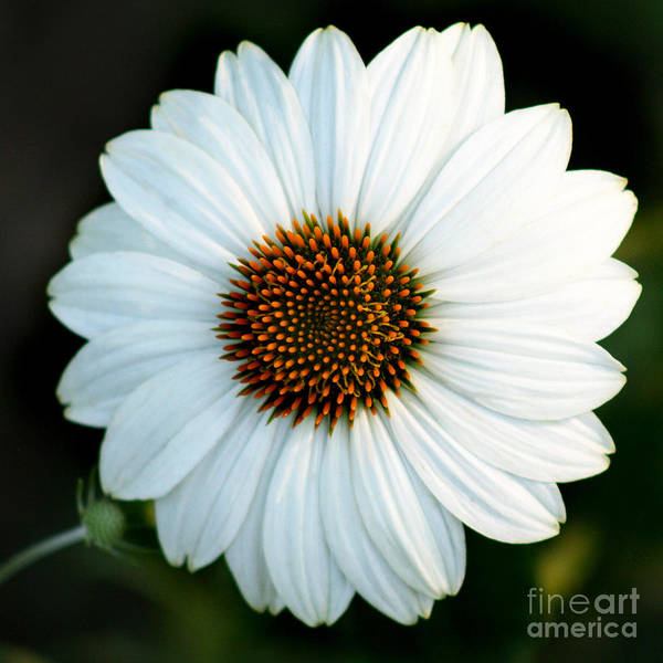 Photograph - White Echinacea Square by Karen Adams