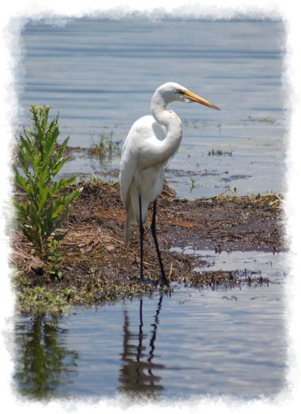 Photograph - White Egret by Donna Bentley