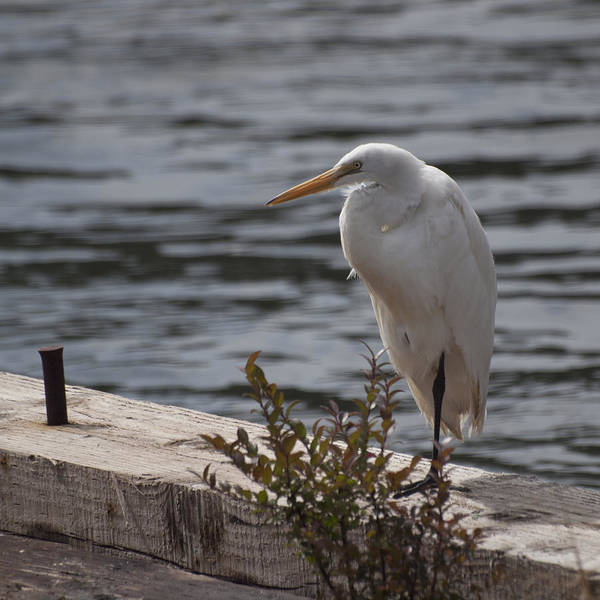 Photograph - White Egret by HW Kateley