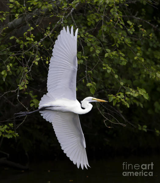 Coosa River Photograph - White Egret In Flight-signed-#0716 by J L Woody Wooden