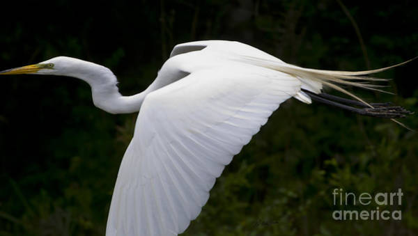 Coosa River Photograph - White Egret In Flight-signed-#0799 by J L Woody Wooden