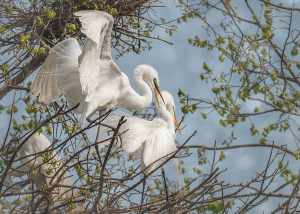 Photograph - White Egret Pair by Patti Deters