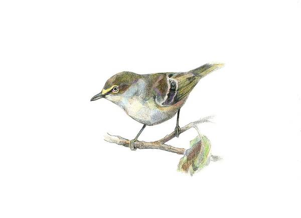 White-eyed Vireo Art Print