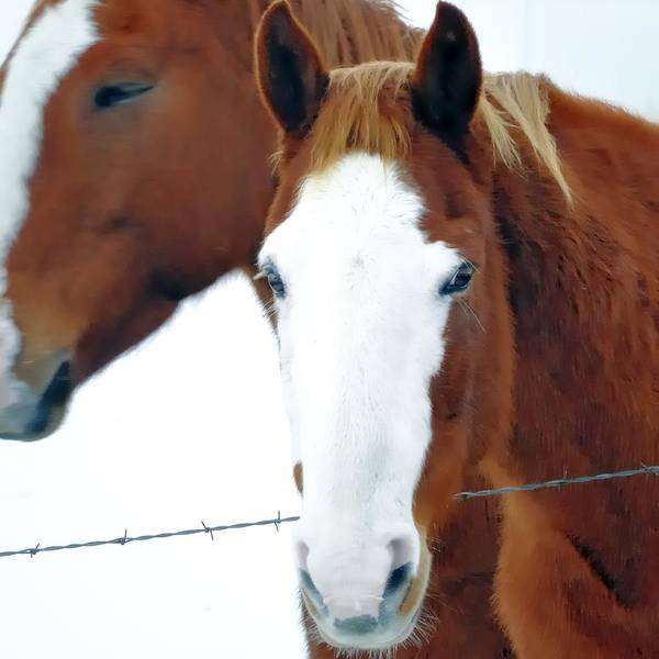 Photograph - White Face Quarterhorse 13220 by Jerry Sodorff
