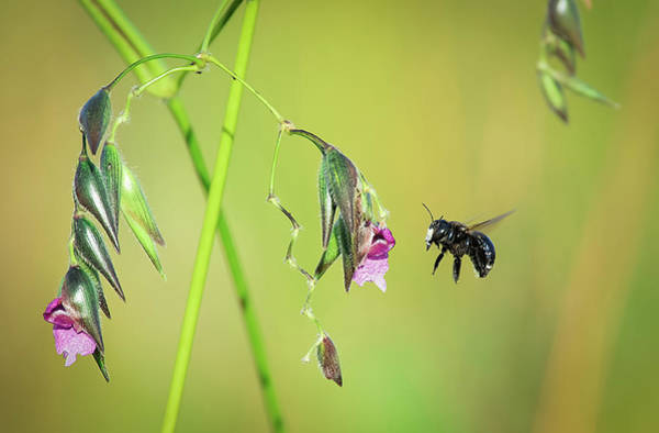 Photograph - White-faced Bee by Richard Goldman