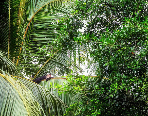 Wall Art - Photograph - White Faced Capuchin Monkey Costa Rica by Joan Carroll