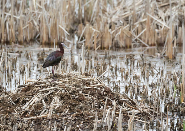 Horicon Marsh Photograph - White-faced Ibis 2017-1 by Thomas Young