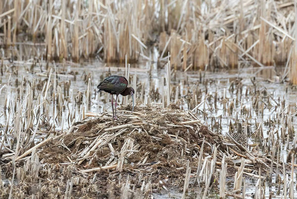 Horicon Marsh Photograph - White-faced Ibis 2017-2 by Thomas Young