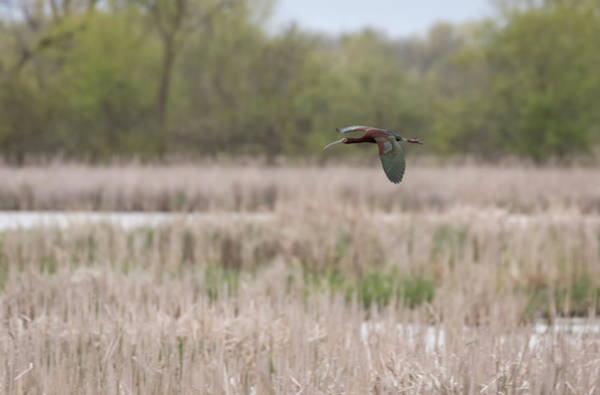 Horicon Wall Art - Photograph - White-faced Ibis 2017-3 by Thomas Young