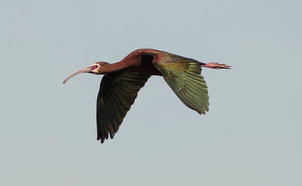 Flyby Photograph - White Faced Ibis Flyby by Loree Johnson