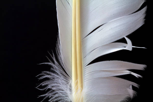 Photograph - White Feather by Bob Orsillo