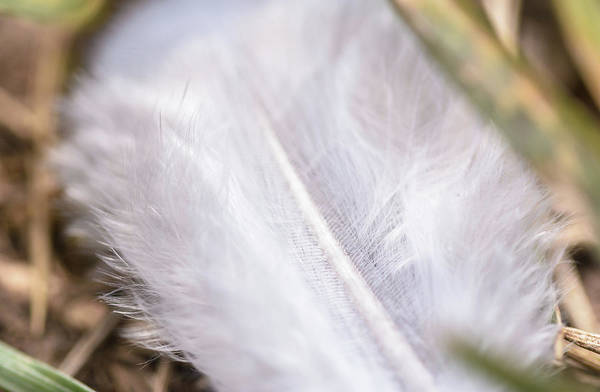 Photograph - White Feather On Grass Close Up by Jacek Wojnarowski