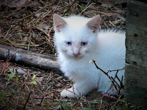 Photograph - White Feral Kitten by Ken Bradford