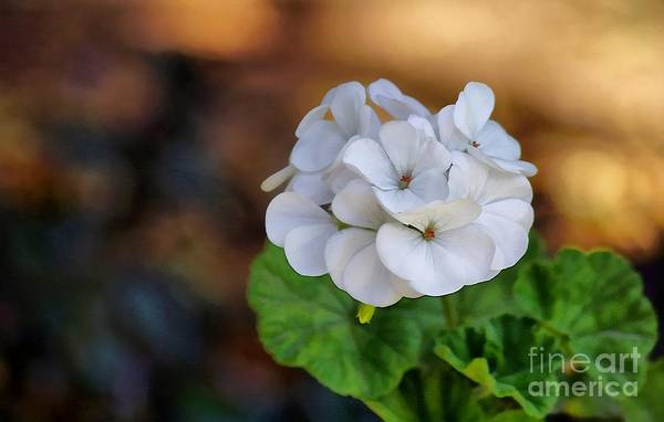 Photograph - White Flower Bunch by John Kolenberg