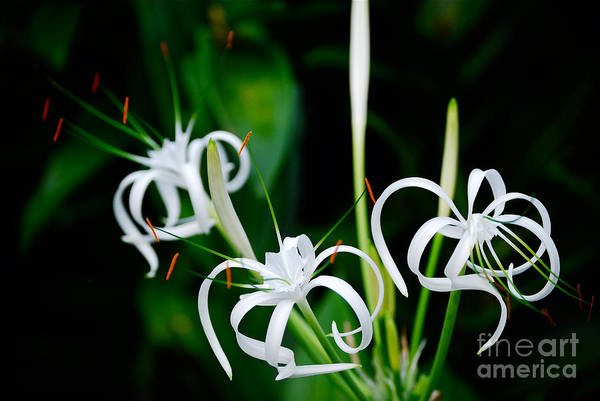 Cesar Wall Art - Photograph - White Flower by Cesar Marino
