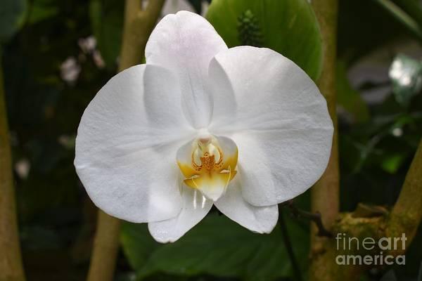 Phalaenopsis Sanderiana Art Print