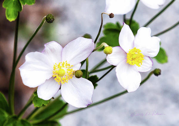 Photograph - White Flowers by Edward Peterson