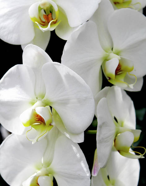 Photograph - White Orchid by Melinda Blackman