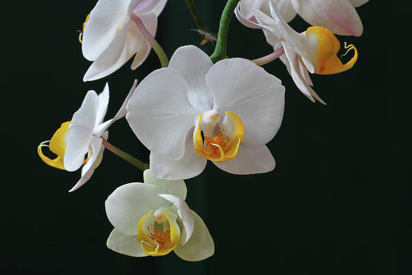 Photograph - White Flowers Orchids by Juergen Roth