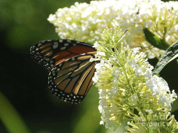 Photograph - White Flowers W19 And Monarch Butterfly by Monica C Stovall