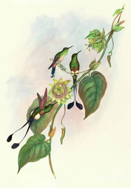 Wall Art - Painting - White Footed Racket Tail by John Gould