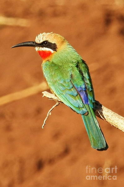 Wall Art - Photograph - White Fronted Bee Eater by Tom Cheatham